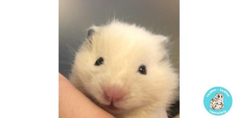 Hamster08