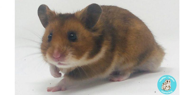Hamster30