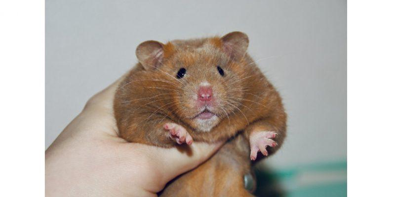 Hamster38